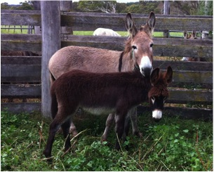 Donkey foals now available – white, grey, brown and chestnut colours