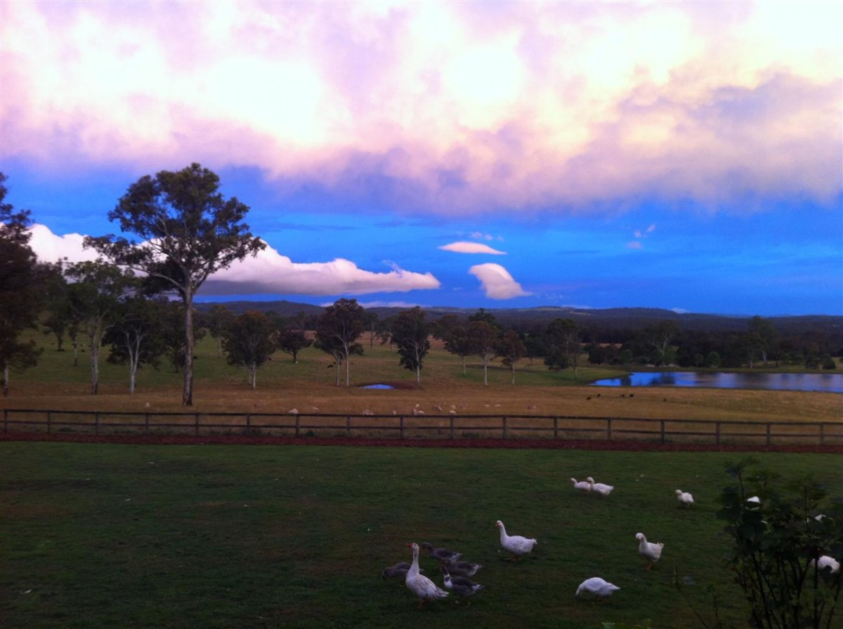 geese_at_farm